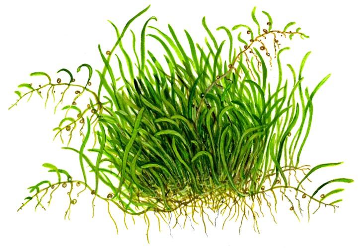 Utricularia graminifolia - Tropica Aquarium Plants