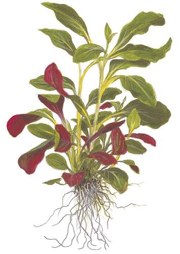Lobelia Cardinalis Tropica Aquarium Plants