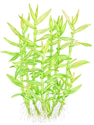 Murdannia Keisak Tropica Aquarium Plants