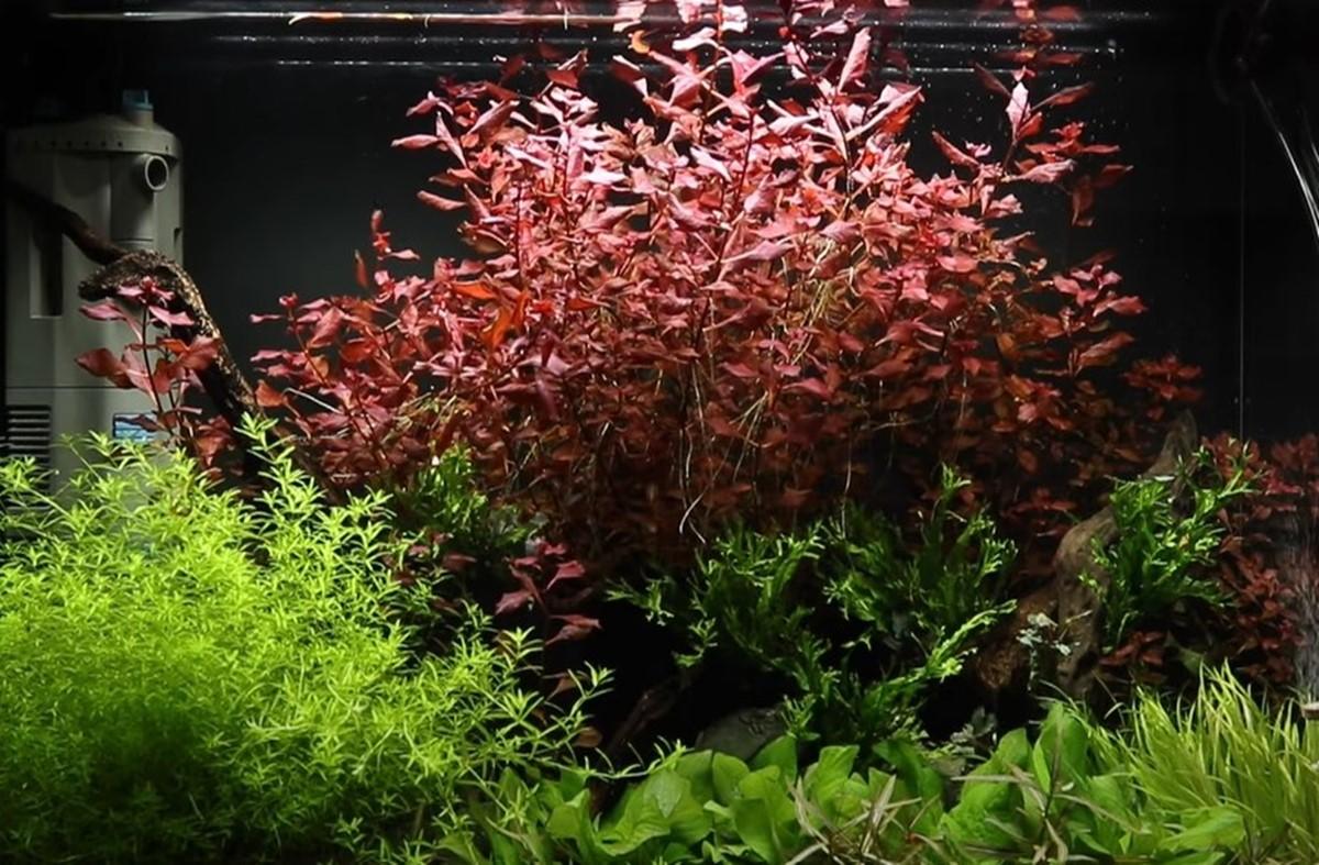 Dealer Com Login >> Ludwigia palustris - Tropica Aquarium Plants