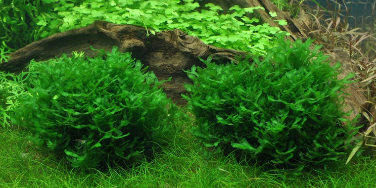 Monosolenium Tenerum Tropica Aquarium Plants