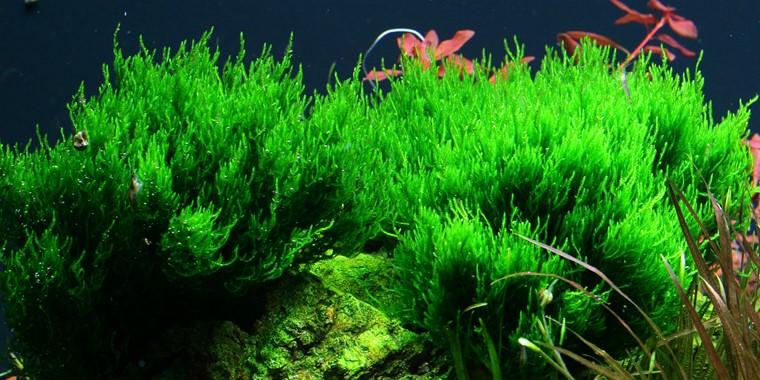 Taxiphyllum Flame Tropica Aquarium Plants