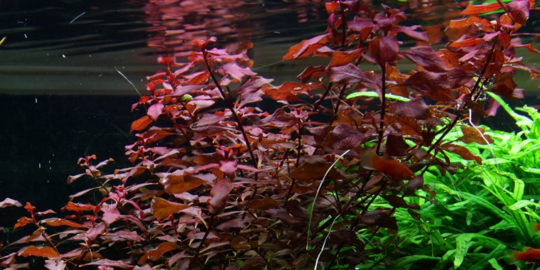 ludwigia palustris tropica aquarium plants. Black Bedroom Furniture Sets. Home Design Ideas