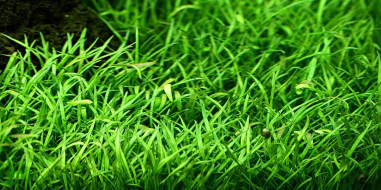 Lilaeopsis Brasiliensis Tropica Aquarium Plants
