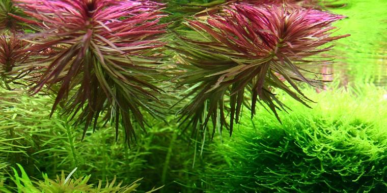 Limnophila Aromatica Tropica Aquarium Plants