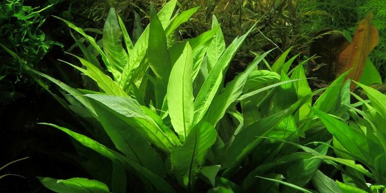 Hygrophila Corymbosa Tropica Aquarium Plants