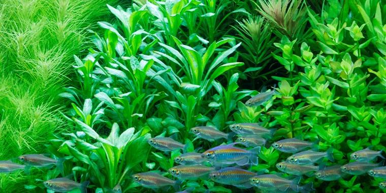 Lobelia cardinalis - Tropica Aquarium Plants