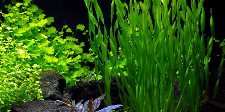 Vallisneria Americana Asiatica Tropica Aquarium Plants