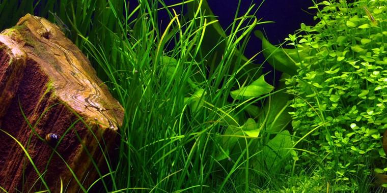 Vallisneria Nana Tropica Aquarium Plants