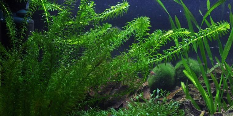 Egeria Densa Tropica Aquarium Plants