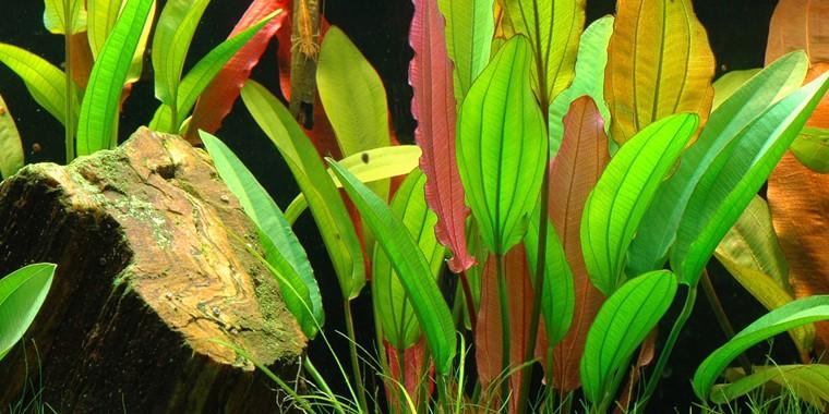 Echinodorus Red Diamond Tropica Aquarium Plants