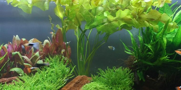 Aponogeton Ulvaceus Tropica Aquarium Plants