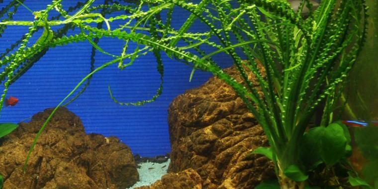 Crinum Calamistratum Tropica Aquarium Plants