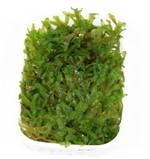 Tropica Mosses